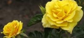 Саженцы роз в интернет магазине Greensad – как ухаживать за розами?