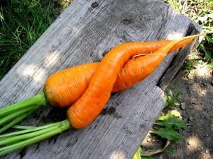 Совместимость овощных культур