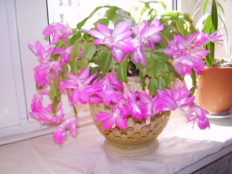 Капризули и кактусы